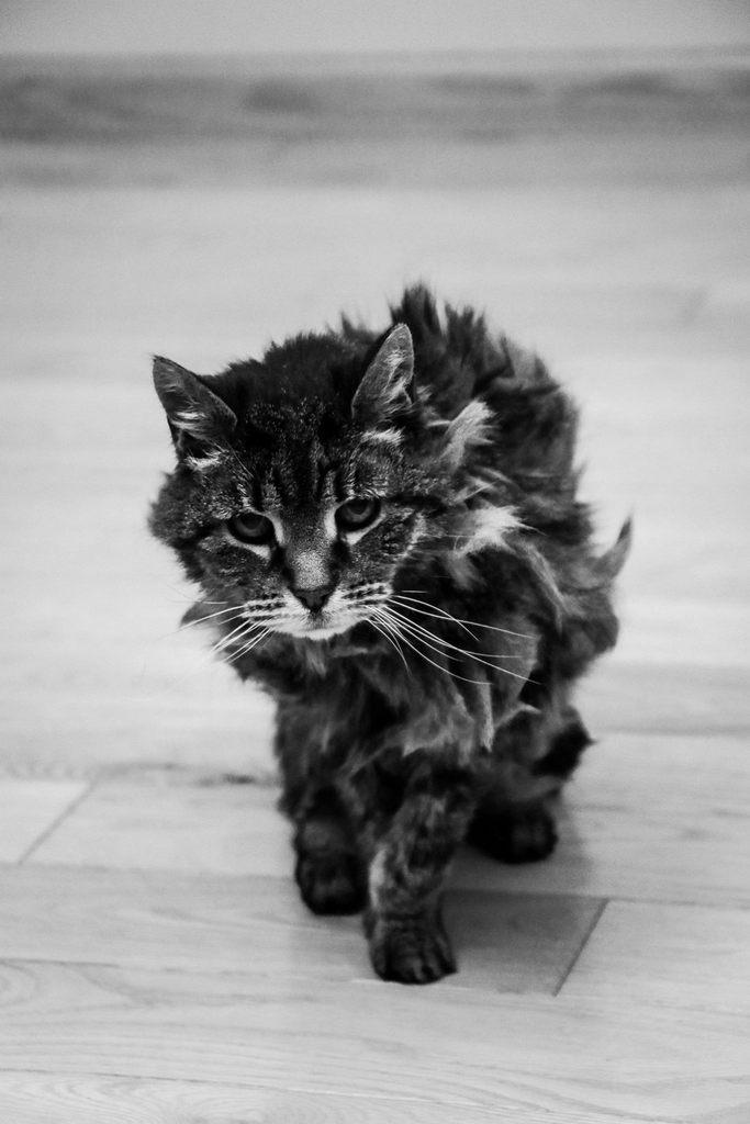 Dulce gato viejo caminando
