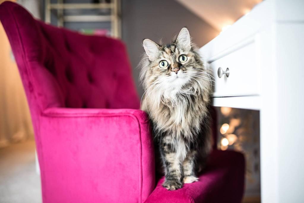 Gato sentado en una silla rosa