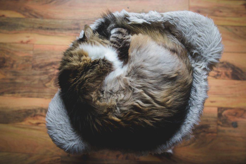 Gato acurrucado en una pelota durmiendo