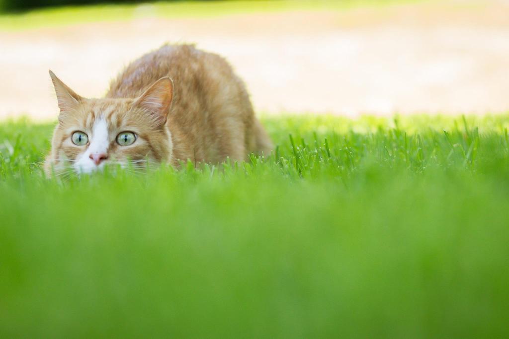 Gato escondido en la hierba