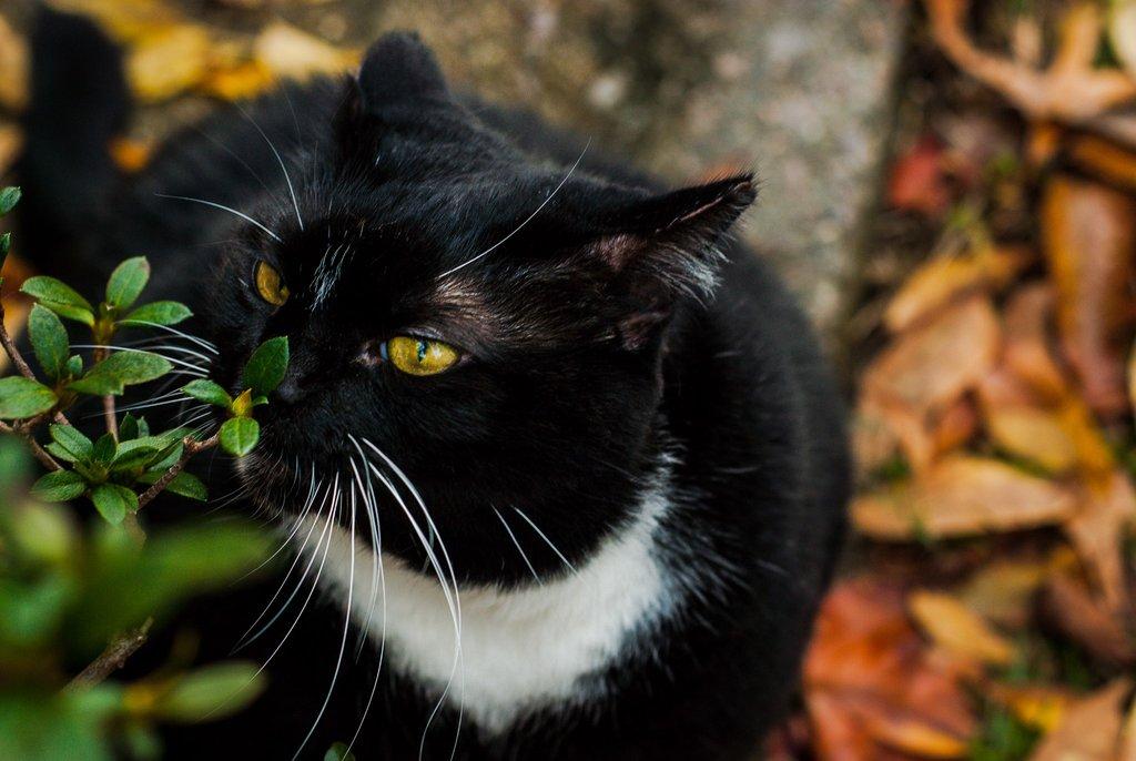 Planta olfatea gato negro