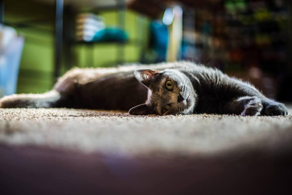 Gato tendido en el suelo