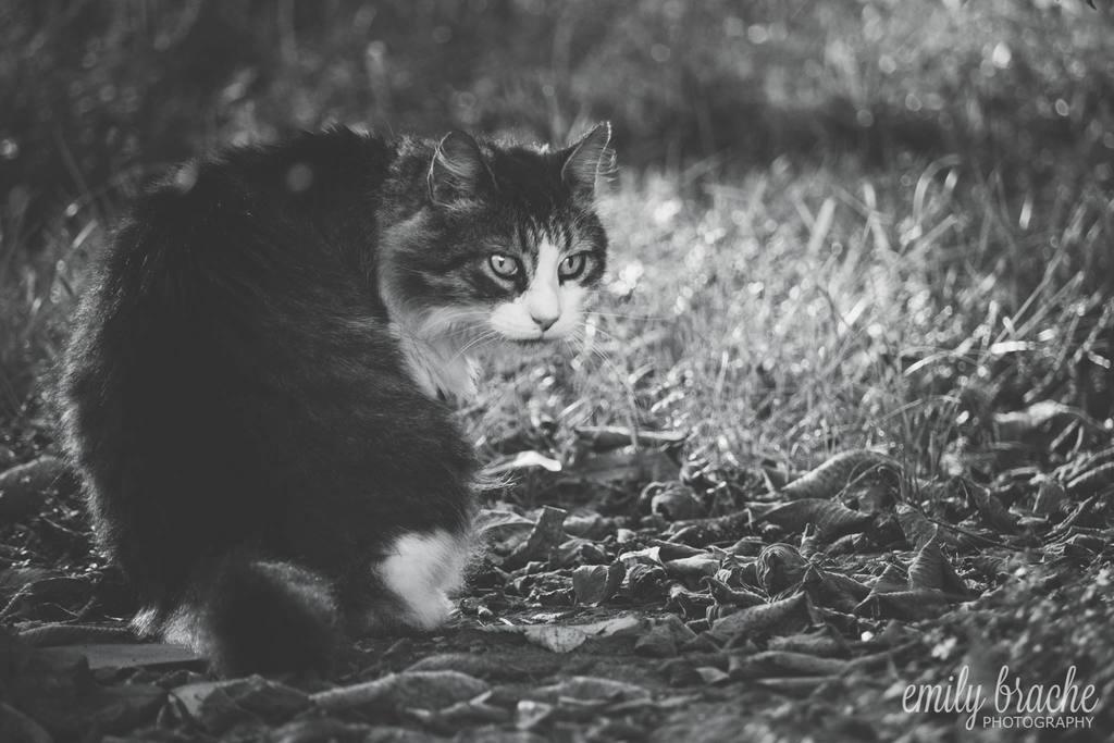 Fotografía en blanco y negro de gato en el campo