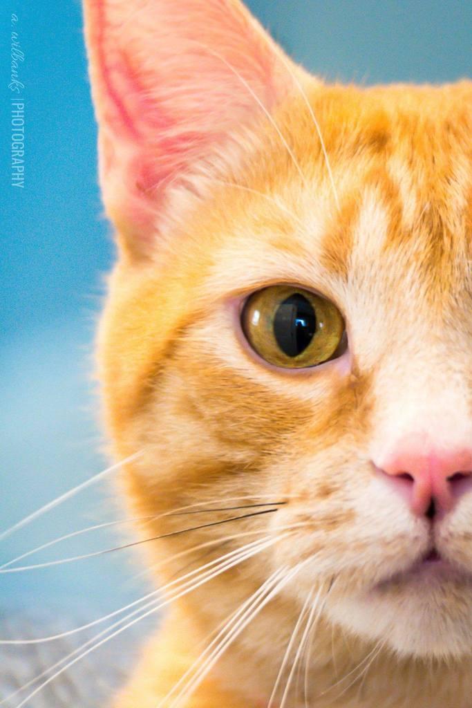Gato naranja mirando al fotógrafo
