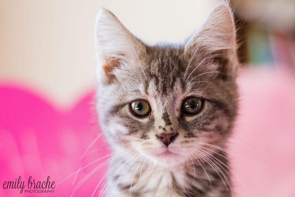 Lindo gatito mirando hacia adelante con fondo rosa