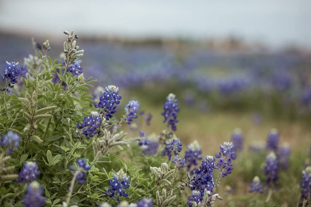 fotos de bluebonnet en texas