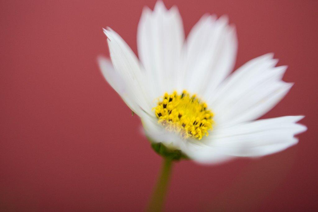Fotografía macro de Freelensing de flor blanca