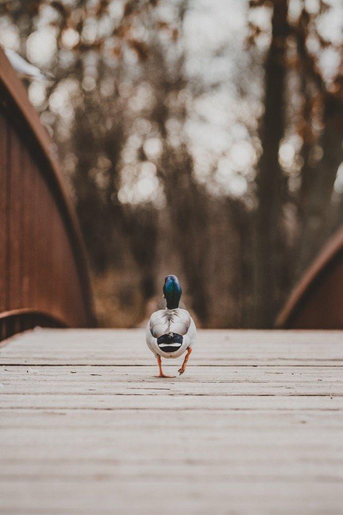 Las mejores fotos de 2019: pato cruzando el puente