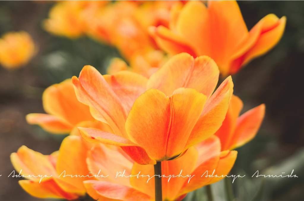 Imagen de flor de primavera naranja