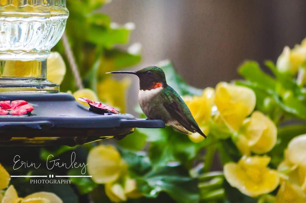 Colibrí de primavera bebiendo del alimentador de colibrí