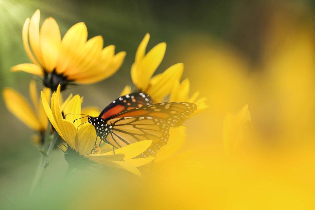 Mariposa naranja en flores amarillas de primavera