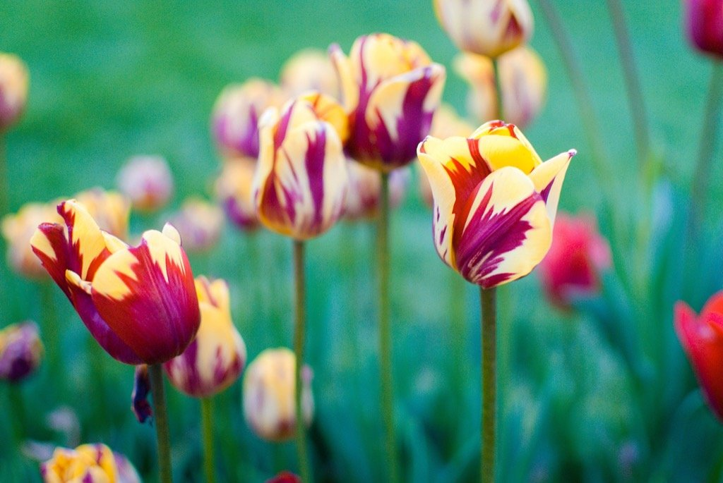 Imagen de tulipán de primavera