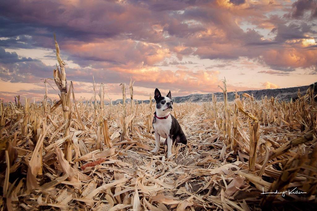 Perro en medio de un campo de maíz con una hermosa puesta de sol - Pretty Presets Photo Challenge