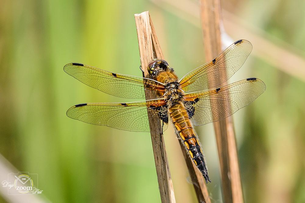 Fotografiando libélulas y caballitos del diablo